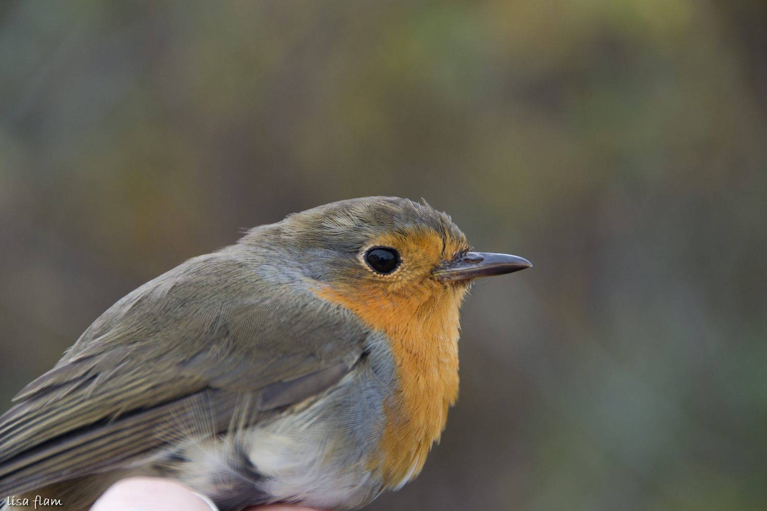 Robin with swedesh ring