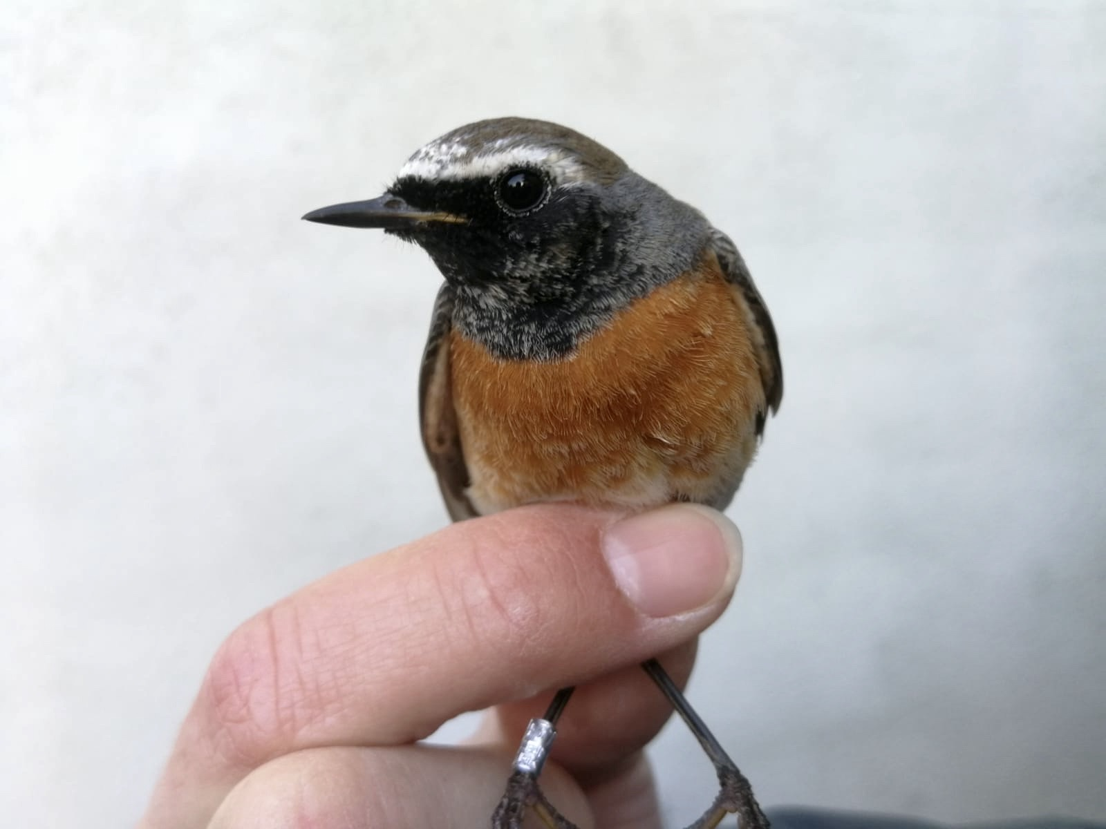 redstart1_blf.jpeg